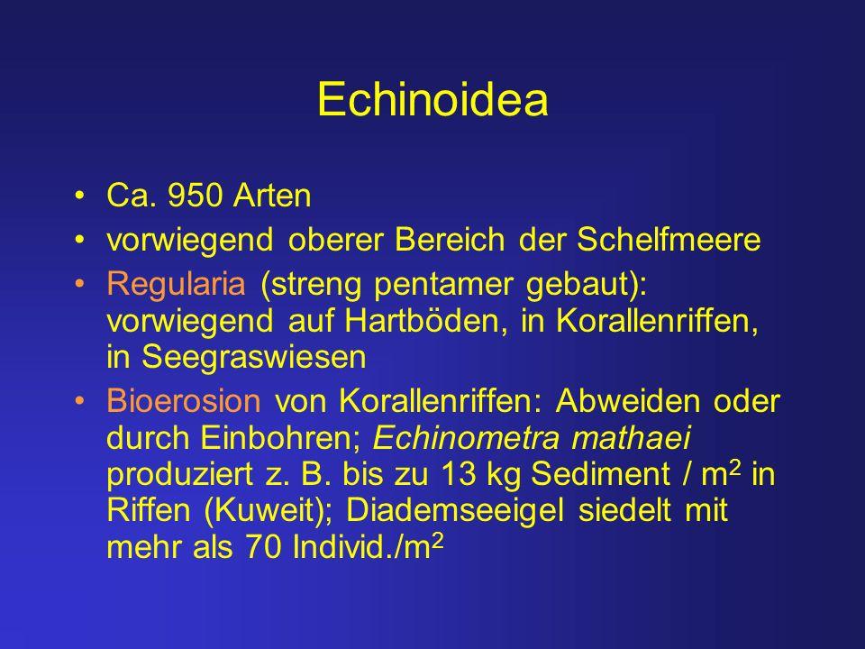 Echinoidea Ca. 950 Arten vorwiegend oberer Bereich der Schelfmeere Regularia (streng pentamer gebaut): vorwiegend auf Hartböden, in Korallenriffen, in