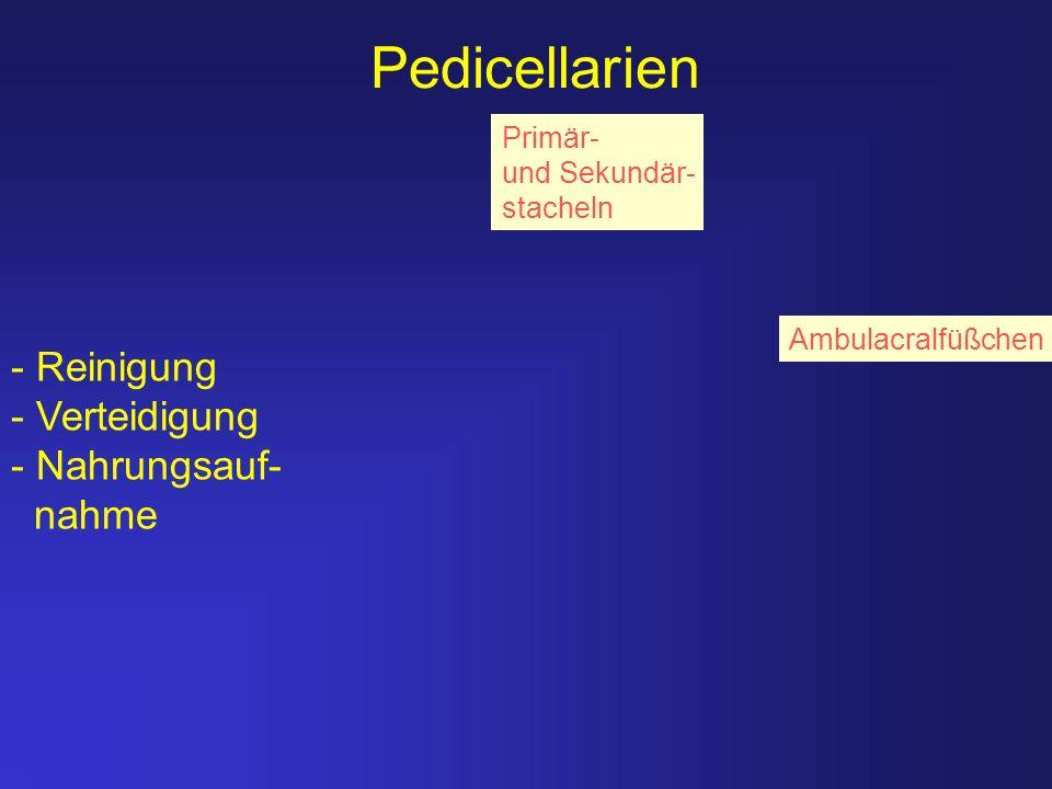 Pedicellarien Ambulacralfüßchen Primär- und Sekundär- stacheln - Reinigung - Verteidigung - Nahrungsauf- nahme