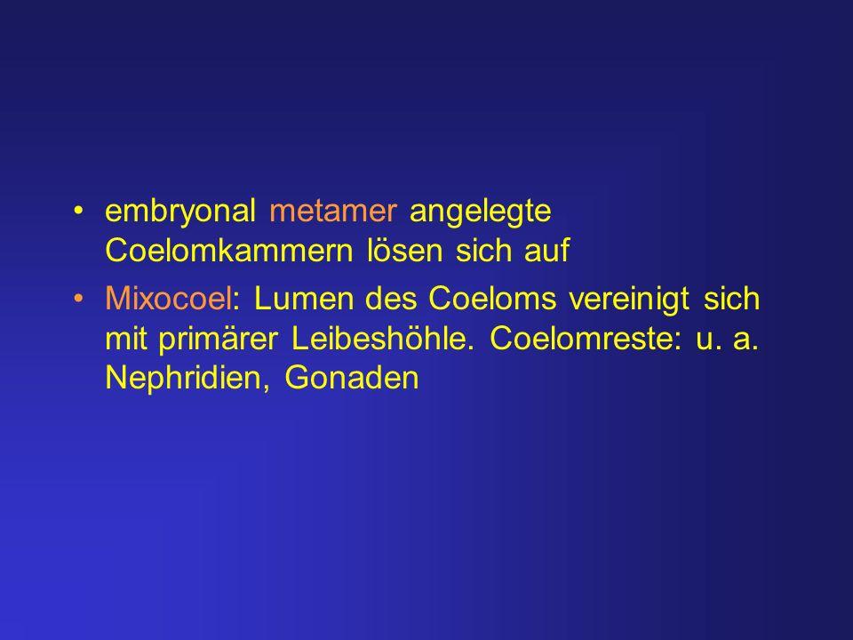 embryonal metamer angelegte Coelomkammern lösen sich auf Mixocoel: Lumen des Coeloms vereinigt sich mit primärer Leibeshöhle. Coelomreste: u. a. Nephr