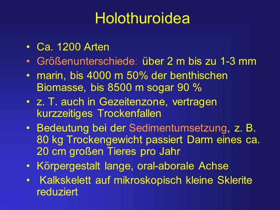 Holothuroidea Ca. 1200 Arten Größenunterschiede: über 2 m bis zu 1-3 mm marin, bis 4000 m 50% der benthischen Biomasse, bis 8500 m sogar 90 % z. T. au