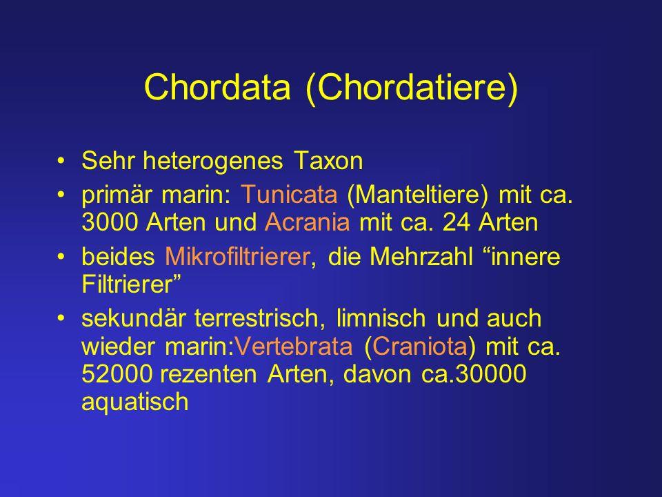 Chordata (Chordatiere) Sehr heterogenes Taxon primär marin: Tunicata (Manteltiere) mit ca. 3000 Arten und Acrania mit ca. 24 Arten beides Mikrofiltrie