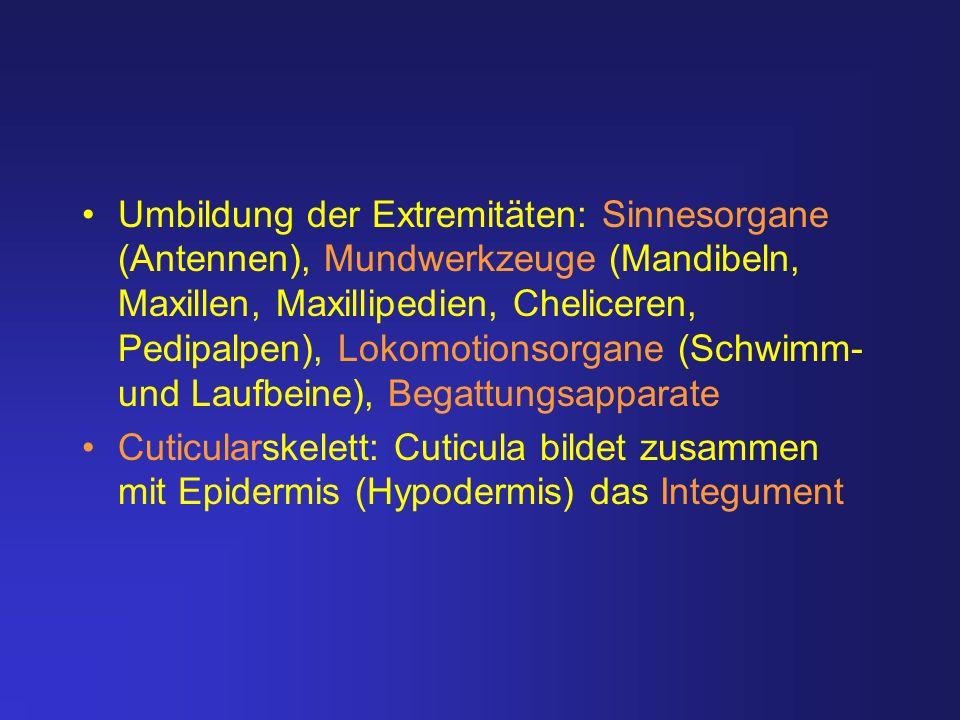 Umbildung der Extremitäten: Sinnesorgane (Antennen), Mundwerkzeuge (Mandibeln, Maxillen, Maxillipedien, Cheliceren, Pedipalpen), Lokomotionsorgane (Sc