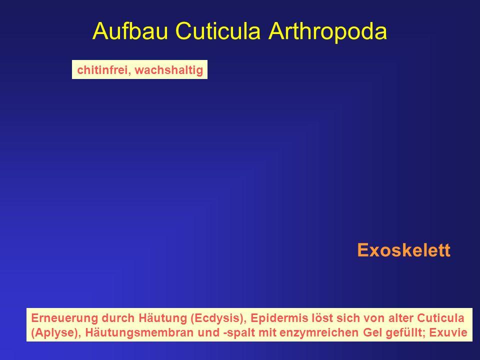 Aufbau Cuticula Arthropoda chitinfrei, wachshaltig Erneuerung durch Häutung (Ecdysis), Epidermis löst sich von alter Cuticula (Aplyse), Häutungsmembra