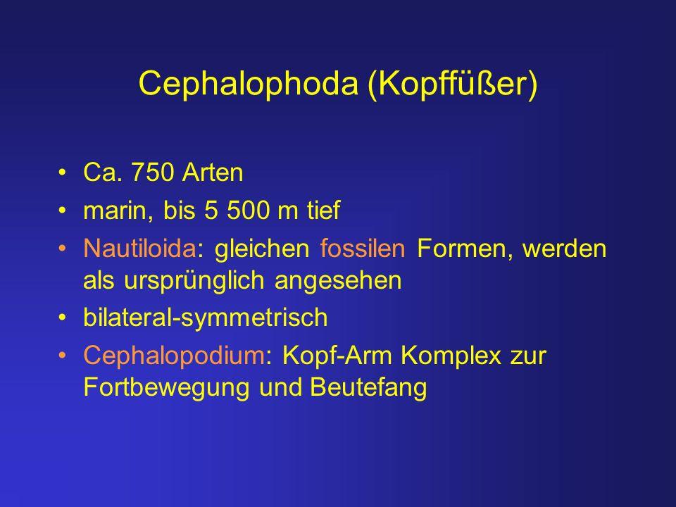 Cephalophoda (Kopffüßer) Ca. 750 Arten marin, bis 5 500 m tief Nautiloida: gleichen fossilen Formen, werden als ursprünglich angesehen bilateral-symme