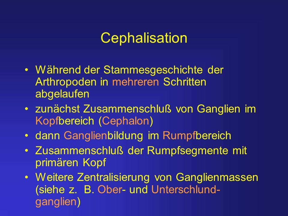 Cephalisation Während der Stammesgeschichte der Arthropoden in mehreren Schritten abgelaufen zunächst Zusammenschluß von Ganglien im Kopfbereich (Ceph
