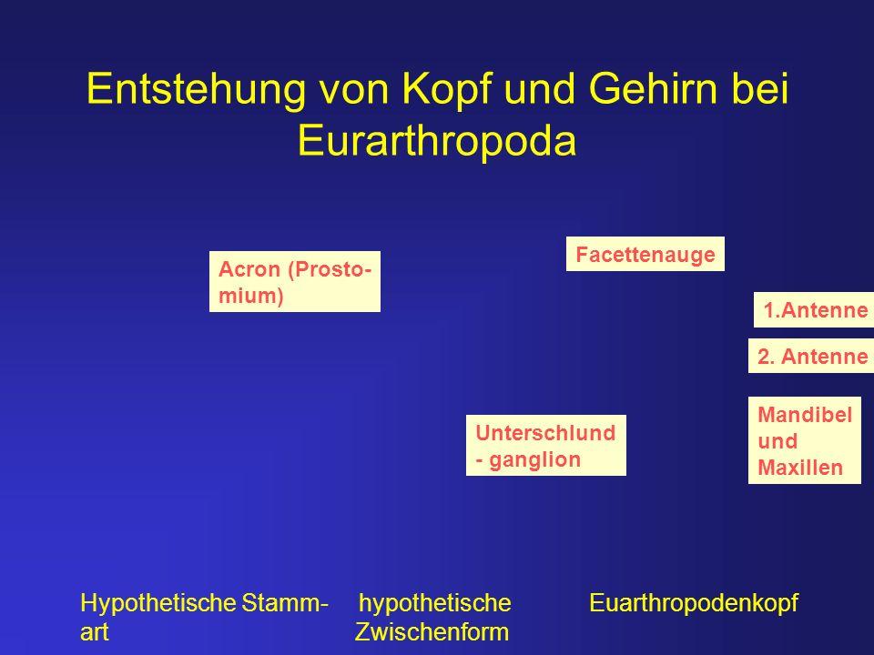 Entstehung von Kopf und Gehirn bei Eurarthropoda Hypothetische Stamm- hypothetische Euarthropodenkopf art Zwischenform Acron (Prosto- mium) 1.Antenne