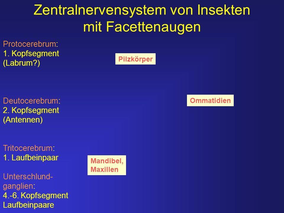 Zentralnervensystem von Insekten mit Facettenaugen Pilzkörper Ommatidien Mandibel, Maxillen Protocerebrum: 1. Kopfsegment (Labrum?) Deutocerebrum: 2.