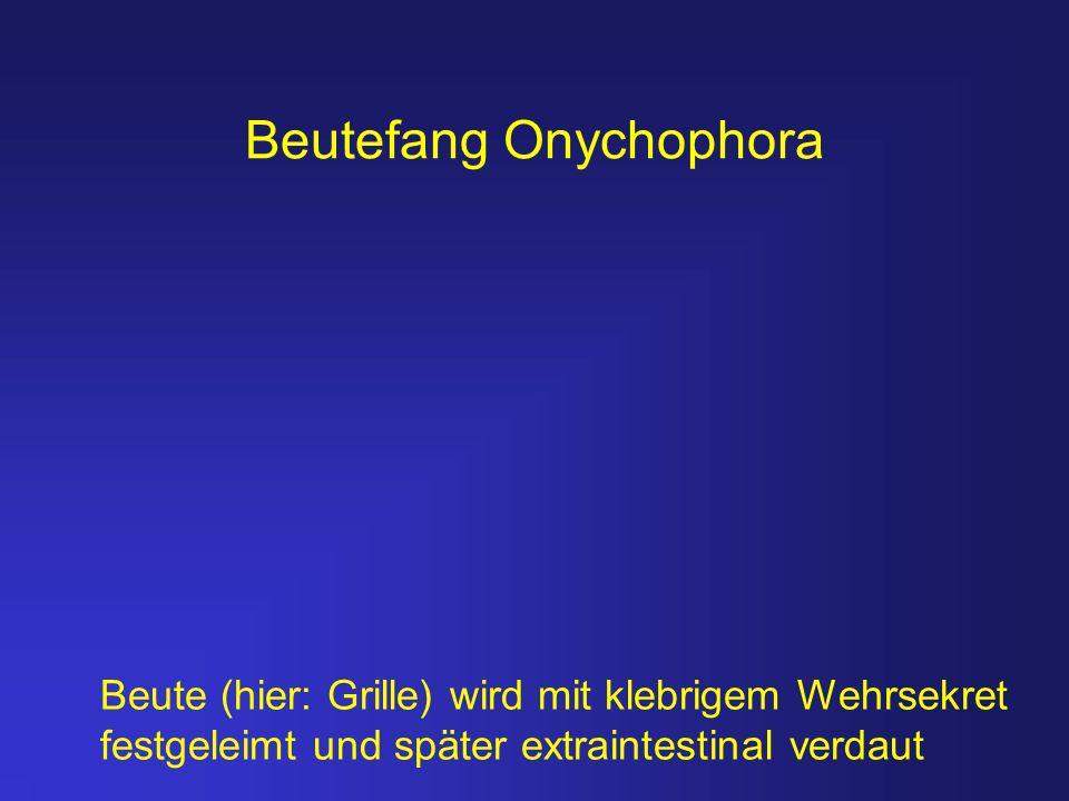 Beutefang Onychophora Beute (hier: Grille) wird mit klebrigem Wehrsekret festgeleimt und später extraintestinal verdaut