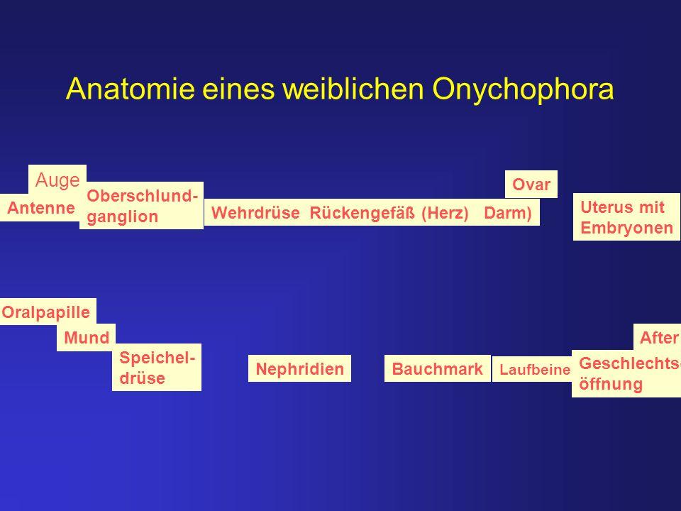 Anatomie eines weiblichen Onychophora NephridienBauchmark Mund Oralpapille Antenne Ovar After Wehrdrüse Rückengefäß (Herz) Darm) Uterus mit Embryonen