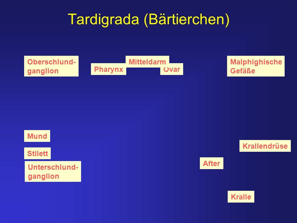Tardigrada (Bärtierchen) Stilett Kralle Krallendrüse Ovar Oberschlund- ganglion Pharynx Unterschlund- ganglion Mund After MitteldarmMalphighische Gefä