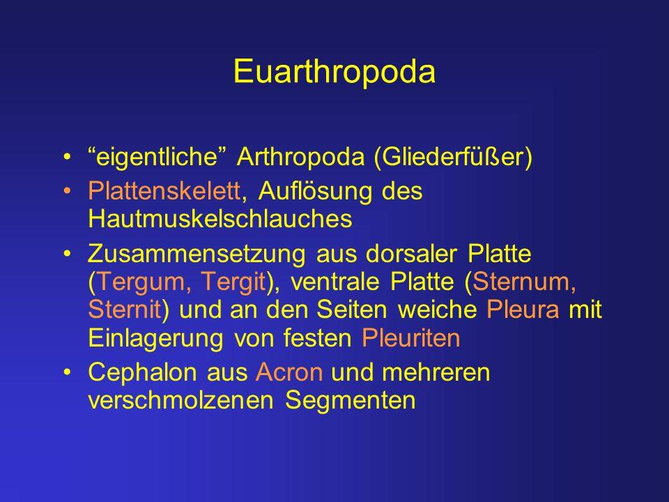 Euarthropoda eigentliche Arthropoda (Gliederfüßer) Plattenskelett, Auflösung des Hautmuskelschlauches Zusammensetzung aus dorsaler Platte (Tergum, Ter