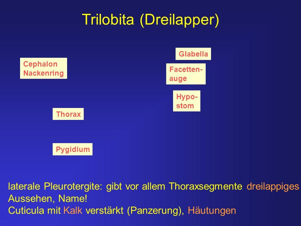 Trilobita (Dreilapper) Pygidium Thorax Hypo- stom Cephalon Nackenring Facetten- auge Glabella laterale Pleurotergite: gibt vor allem Thoraxsegmente dr