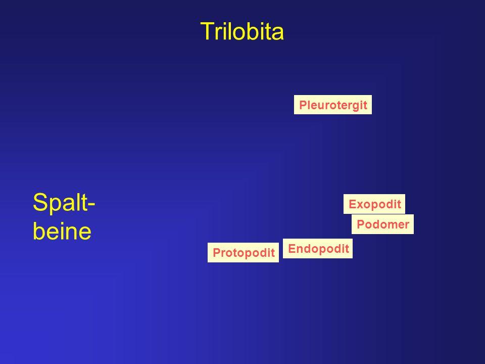 Trilobita Pleurotergit Exopodit Podomer Endopodit Protopodit Spalt- beine