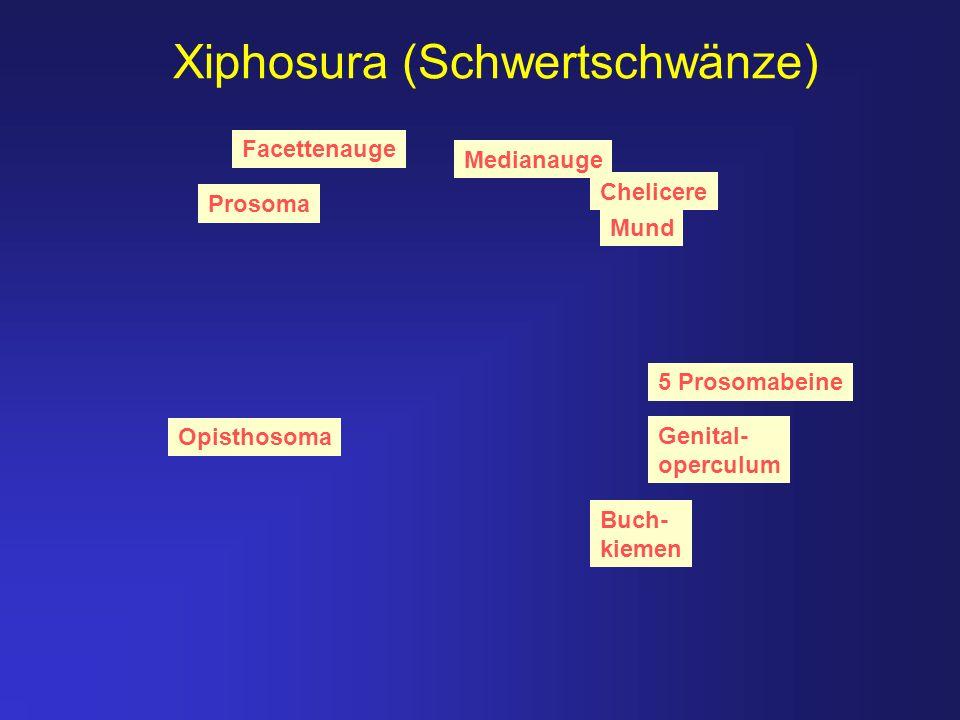 Xiphosura (Schwertschwänze) Medianauge Facettenauge Prosoma Opisthosoma Buch- kiemen Chelicere Mund Genital- operculum 5 Prosomabeine