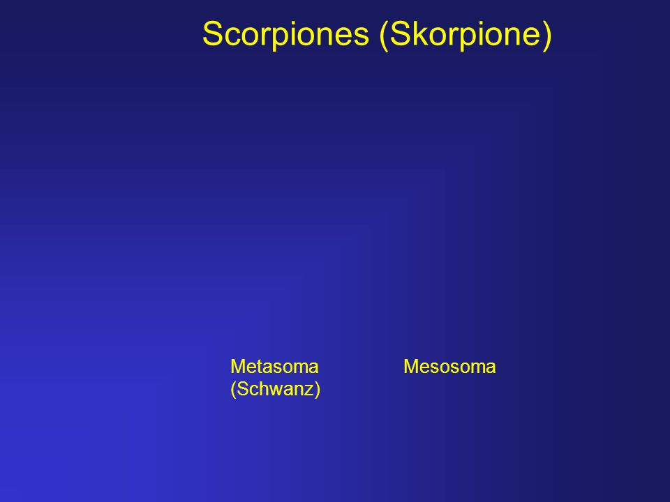 Scorpiones (Skorpione) Metasoma (Schwanz) Mesosoma