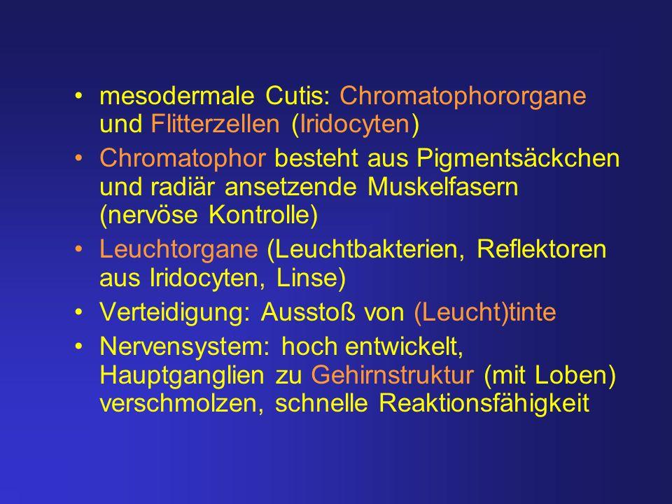 mesodermale Cutis: Chromatophororgane und Flitterzellen (Iridocyten) Chromatophor besteht aus Pigmentsäckchen und radiär ansetzende Muskelfasern (nerv