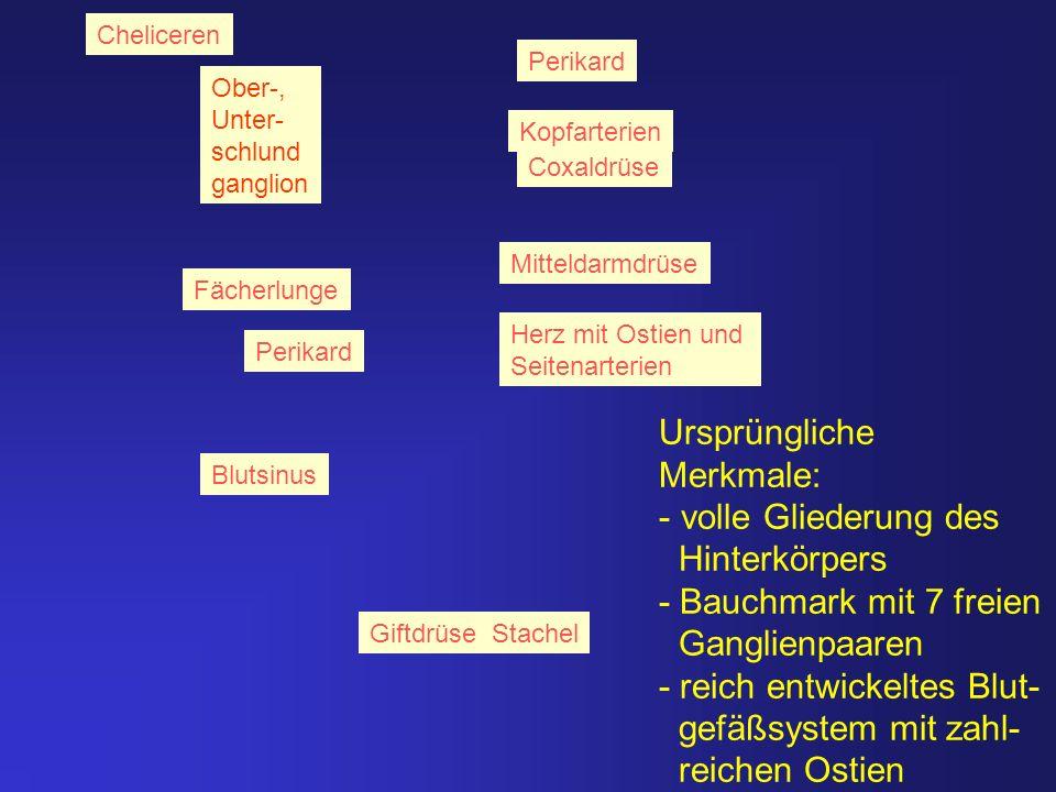 Cheliceren Giftdrüse Stachel Herz mit Ostien und Seitenarterien Blutsinus Mitteldarmdrüse Coxaldrüse Perikard Kopfarterien Ober-, Unter- schlund gangl