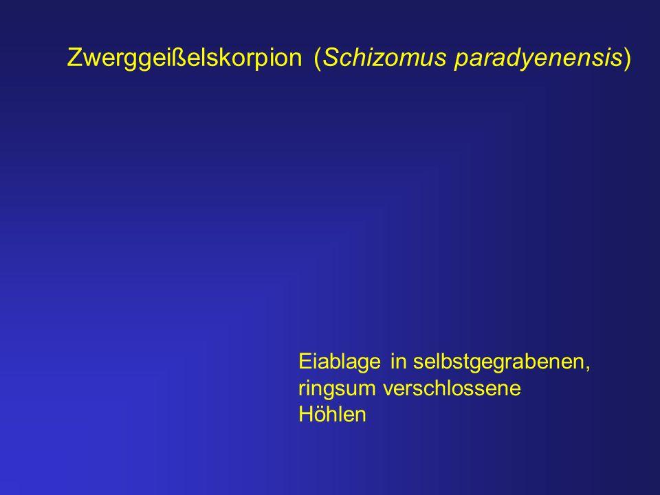 Zwerggeißelskorpion (Schizomus paradyenensis) Eiablage in selbstgegrabenen, ringsum verschlossene Höhlen