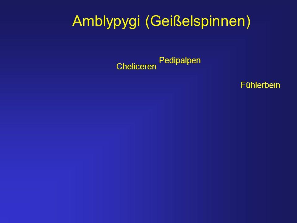 Amblypygi (Geißelspinnen) Fühlerbein Pedipalpen Cheliceren