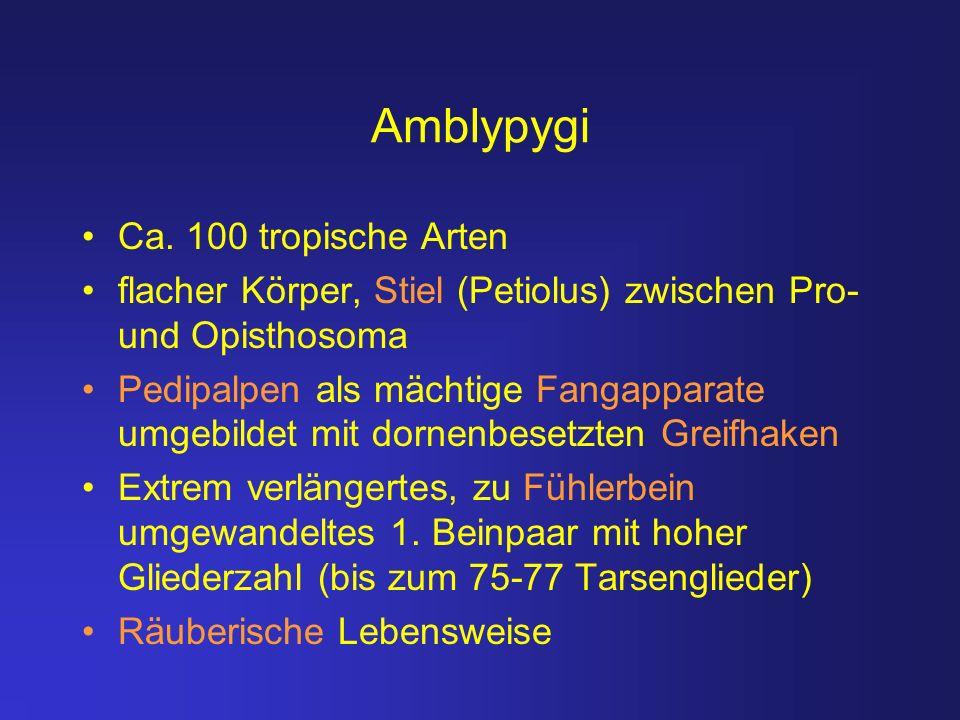 Amblypygi Ca. 100 tropische Arten flacher Körper, Stiel (Petiolus) zwischen Pro- und Opisthosoma Pedipalpen als mächtige Fangapparate umgebildet mit d