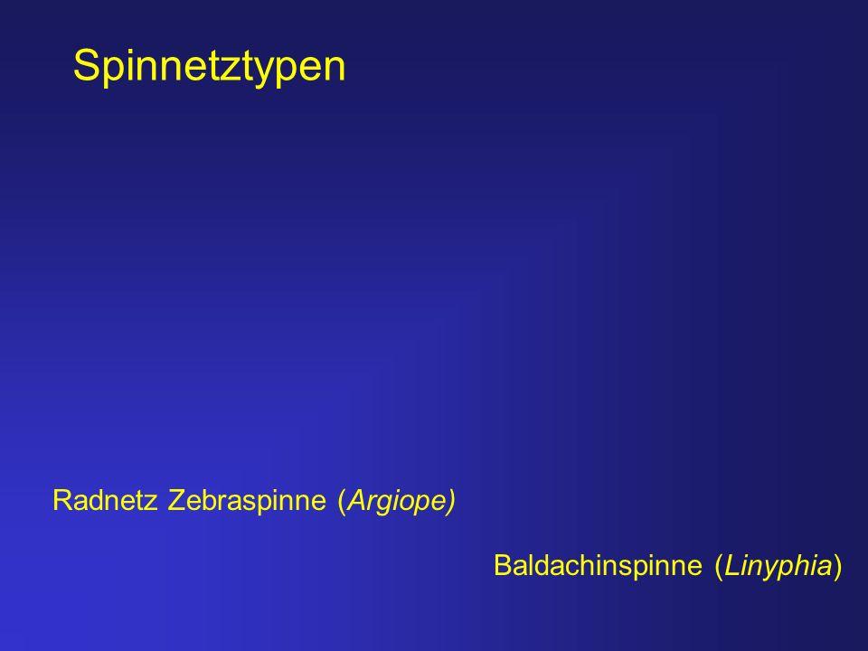Radnetz Zebraspinne (Argiope) Baldachinspinne (Linyphia) Spinnetztypen