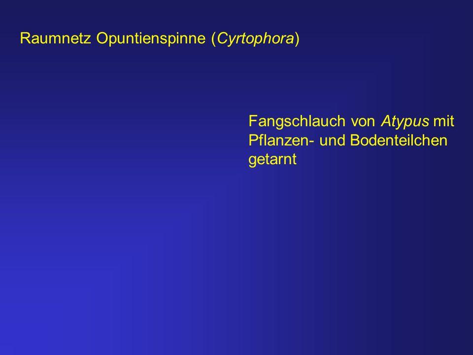 Raumnetz Opuntienspinne (Cyrtophora) Fangschlauch von Atypus mit Pflanzen- und Bodenteilchen getarnt