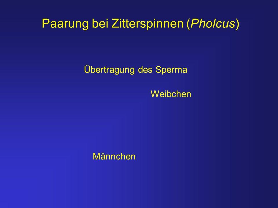 Weibchen Männchen Übertragung des Sperma Paarung bei Zitterspinnen (Pholcus)