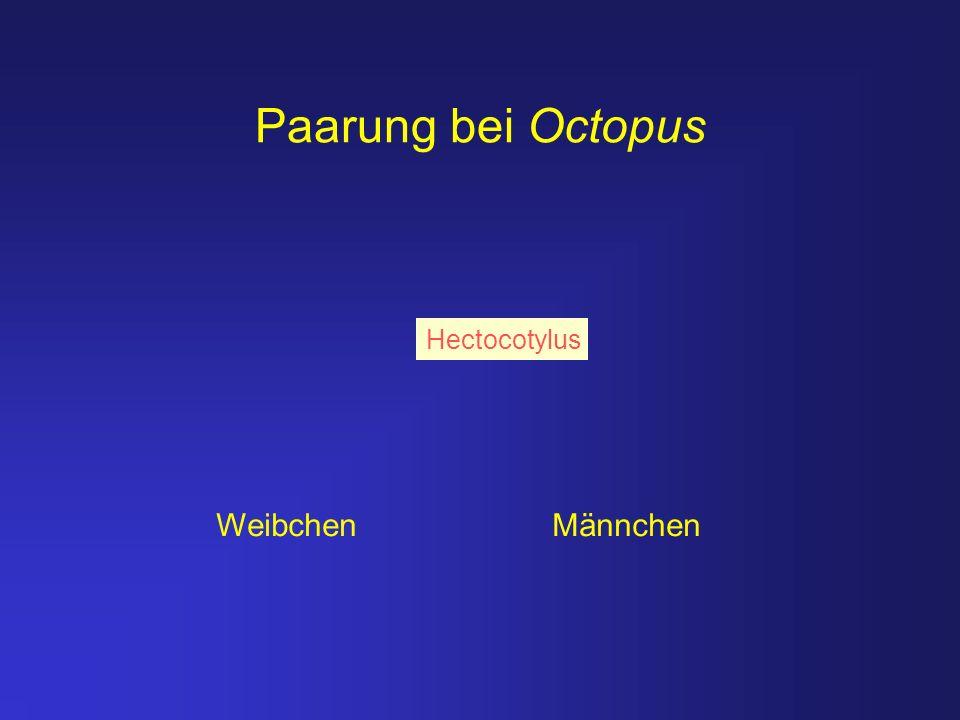 Paarung bei Octopus Hectocotylus Weibchen Männchen