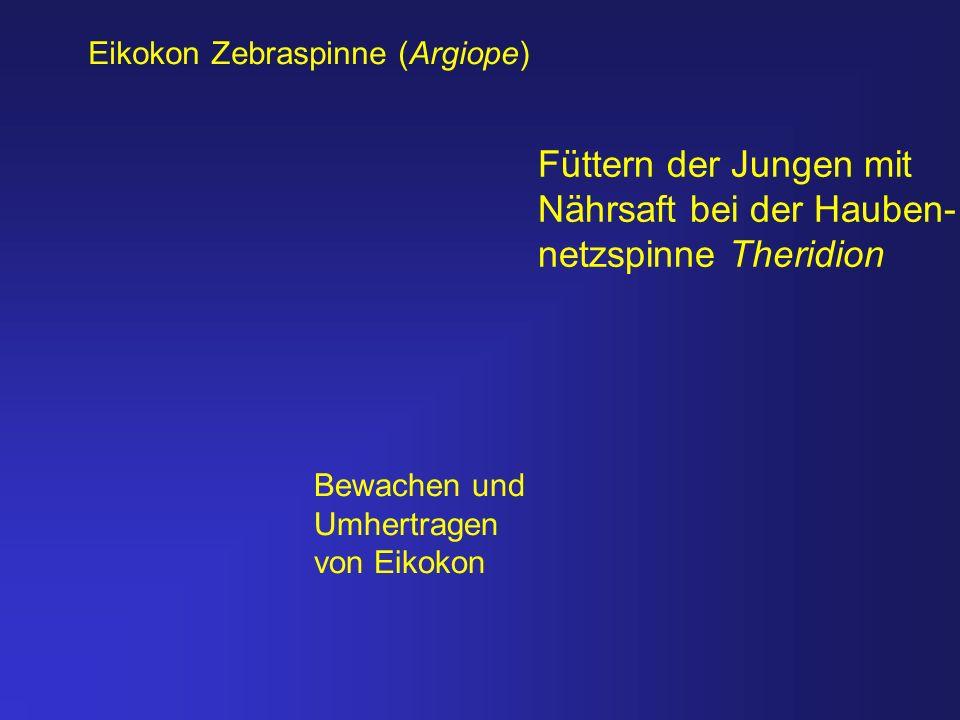 Eikokon Zebraspinne (Argiope) Füttern der Jungen mit Nährsaft bei der Hauben- netzspinne Theridion Bewachen und Umhertragen von Eikokon