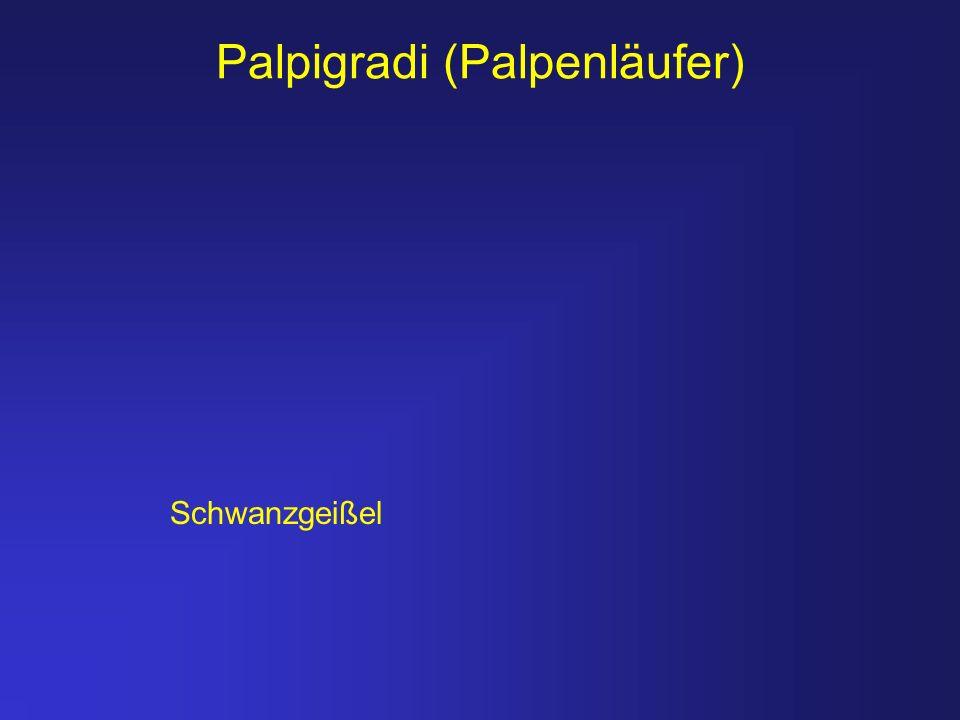 Palpigradi (Palpenläufer) Schwanzgeißel