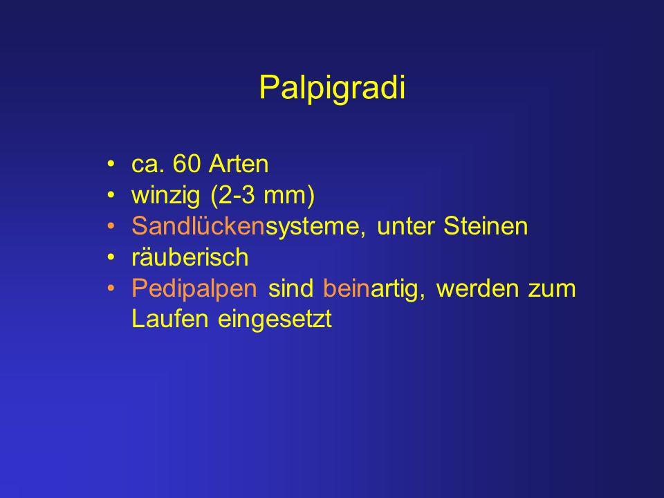 Palpigradi ca. 60 Arten winzig (2-3 mm) Sandlückensysteme, unter Steinen räuberisch Pedipalpen sind beinartig, werden zum Laufen eingesetzt