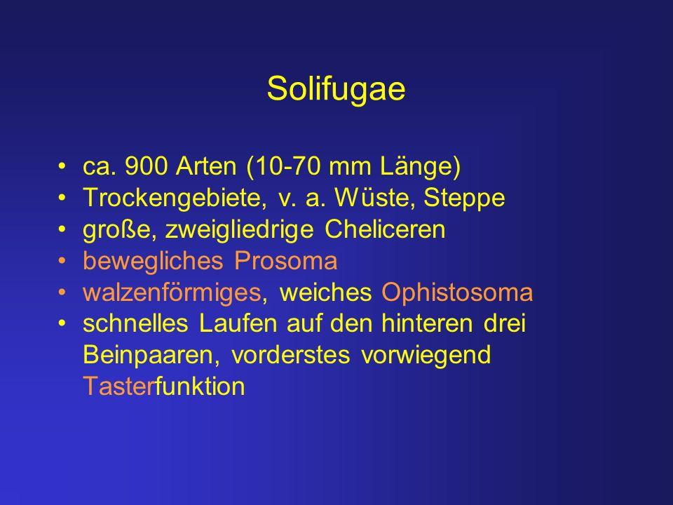 Solifugae ca. 900 Arten (10-70 mm Länge) Trockengebiete, v. a. Wüste, Steppe große, zweigliedrige Cheliceren bewegliches Prosoma walzenförmiges, weich