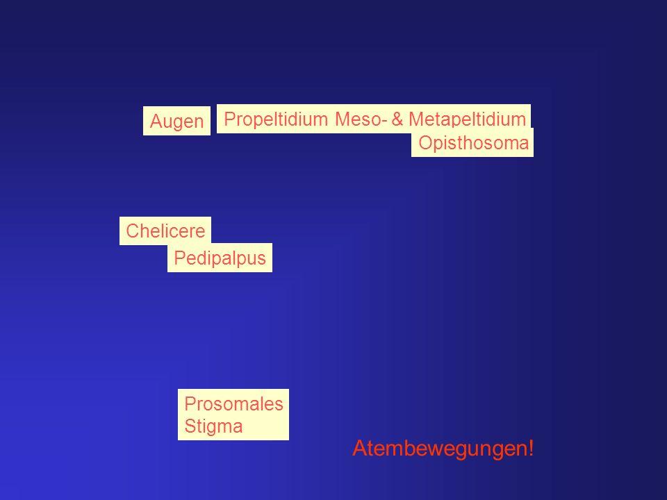 Chelicere Augen Propeltidium Prosomales Stigma Meso- & Metapeltidium Opisthosoma Atembewegungen! Pedipalpus