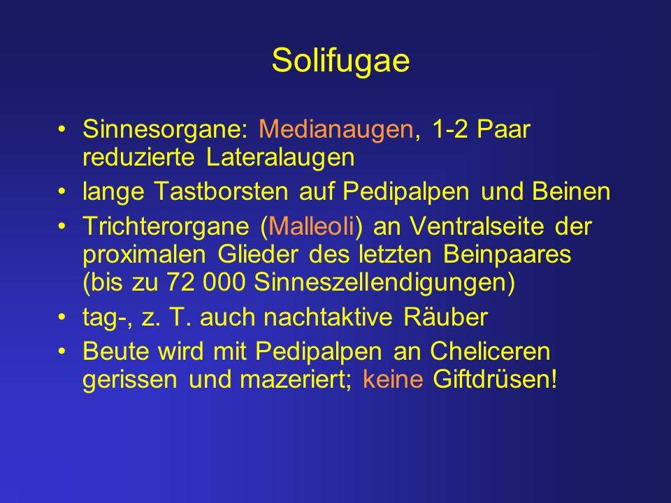 Solifugae Sinnesorgane: Medianaugen, 1-2 Paar reduzierte Lateralaugen lange Tastborsten auf Pedipalpen und Beinen Trichterorgane (Malleoli) an Ventral