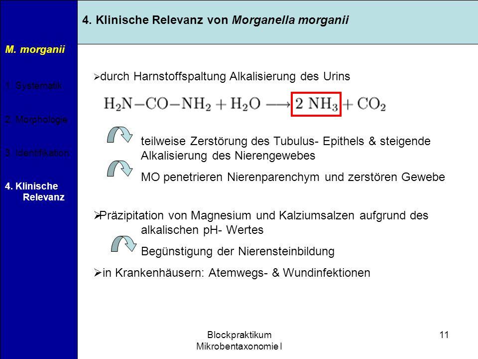 11.04.2007Blockpraktikum Mikrobentaxonomie I 11 M. morganii 1. Systematik 2. Morphologie 3. Identifikation 4. Klinische Relevanz 4. Klinische Relevanz