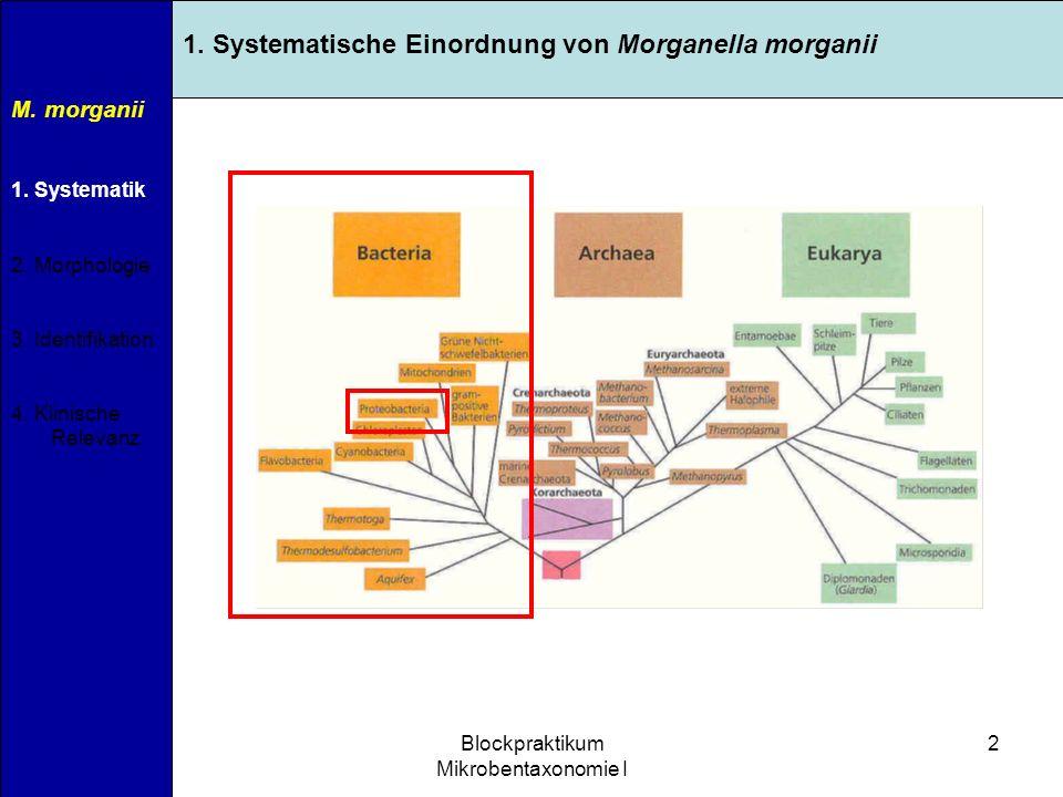 11.04.2007Blockpraktikum Mikrobentaxonomie I 2 M. morganii 1. Systematik 2. Morphologie 3. Identifikation 4. Klinische Relevanz 1. Systematische Einor