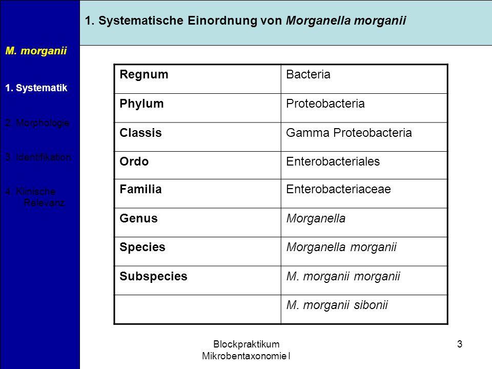 11.04.2007Blockpraktikum Mikrobentaxonomie I 3 M. morganii 1. Systematik 2. Morphologie 3. Identifikation 4. Klinische Relevanz 1. Systematische Einor