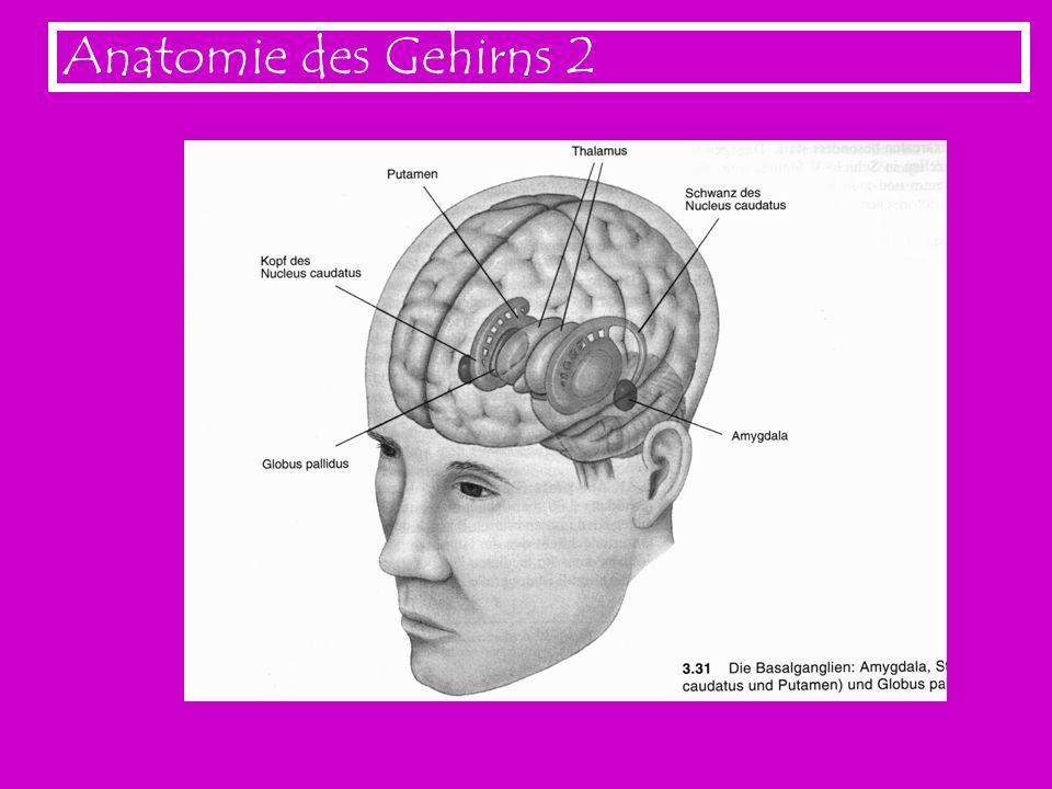 Anatomie des Gehirns 2