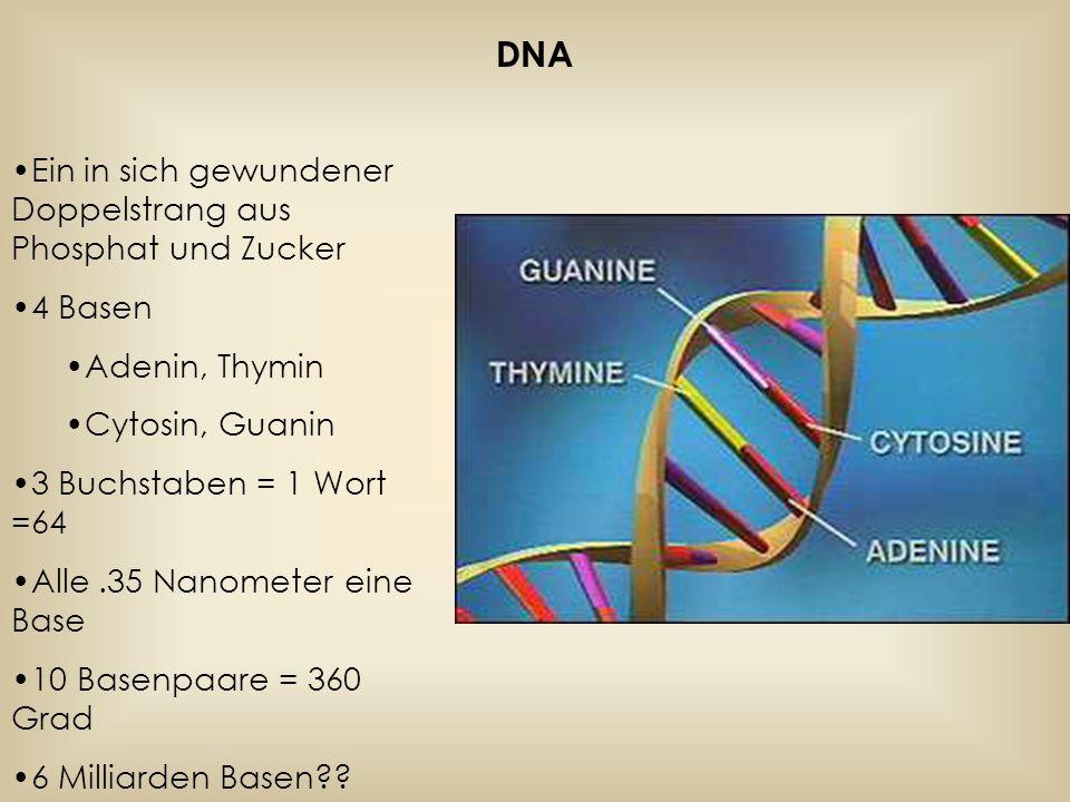 DNA dient der Proteinsynthese DNA wird aufgetrennt An einem DNA Strang wird ein komplementärer Strang aufgebaut=m- RNA Die m-RNA verlässt den Zellkern und wird von einem Ribosom gelesen.