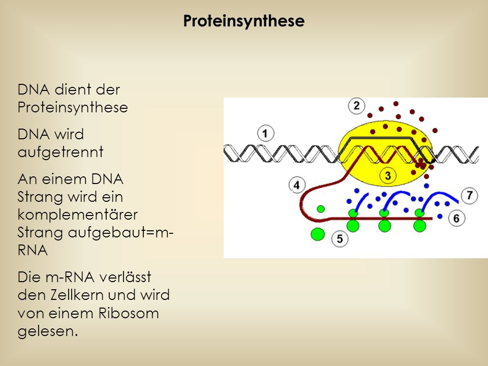 Durch Enzyme werden Aminosäuren an kurze RNA Sequenzen mit 3 Basen gekuppelt.