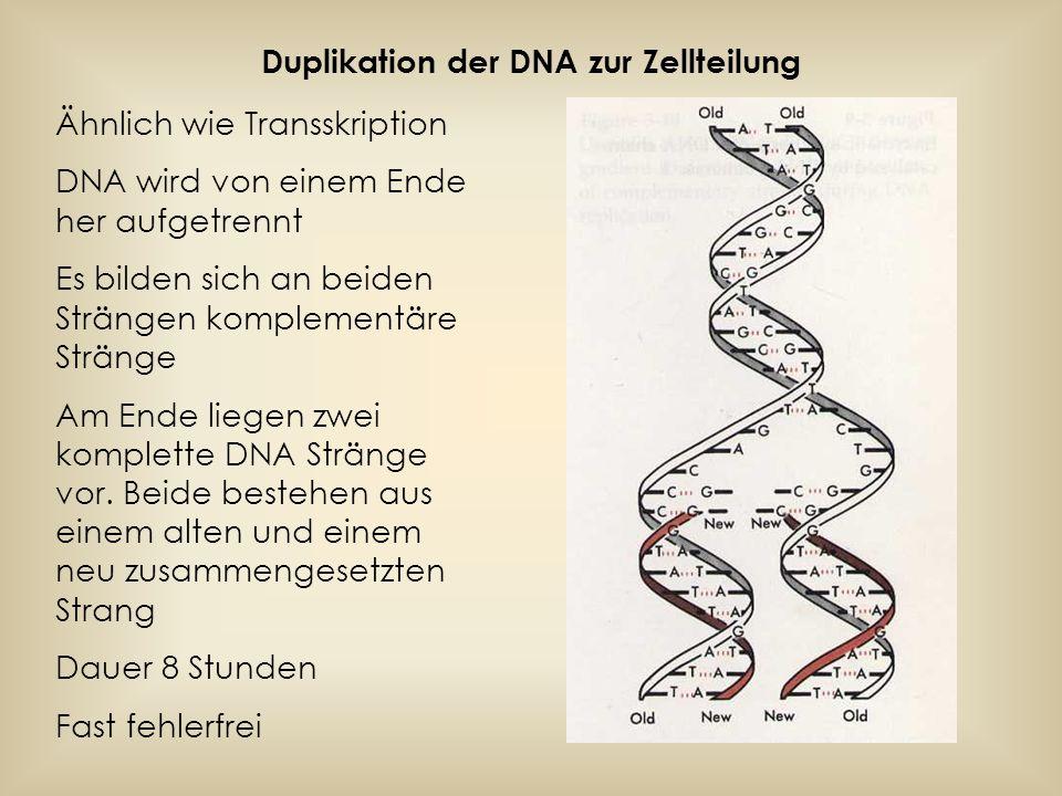 Fehlerbehebung Fehler durch: -falschen Einbau einer Base -Beschädigung eines DNA Stranges durch energiereiche Strahlung -durch Chemikalien Reparatur durch verschiedene Enzyme Fehler die in der Regel erkannt und behoben werden: Zwei nicht komplementäre Basen bilden ein Basenpaar.