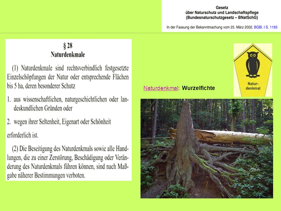NaturdenkmalNaturdenkmal: Wurzelfichte