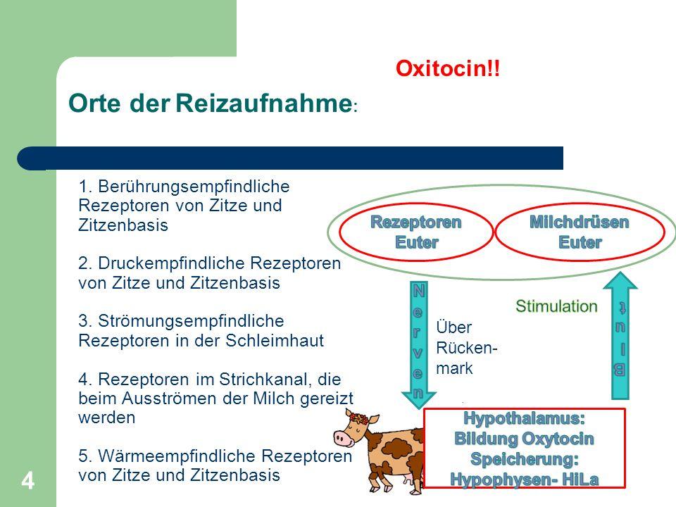 4 1. Berührungsempfindliche Rezeptoren von Zitze und Zitzenbasis 2. Druckempfindliche Rezeptoren von Zitze und Zitzenbasis 3. Strömungsempfindliche Re