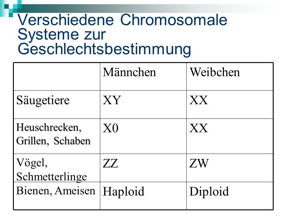 Verschiedene Chromosomale Systeme zur Geschlechtsbestimmung DiploidHaploid Bienen, Ameisen ZWZZ Vögel, Schmetterlinge XXX0 Heuschrecken, Grillen, Schaben XXXYSäugetiere WeibchenMännchen