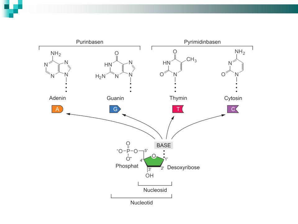 Eineindeutig: Jedes Triplett codiert nur für eine einzige Aminosäure Degeneriert: es gibt 64 Möglichkeiten aus den 4 Basen ein Triplett zu bilden; da aber die Zahl der Aminosäuren viel geringer ist, gibt es für einige Aminosäuren mehrere Triplett-Codes Proteinsequenz Met - Glu - Phe - Ser - Leu mRNA-Sequenz AUG - GAA - UUC - UCG - CUC oder AUG - GAG - UUU - AGU - UUG oder AUG - GAA - UUU - UCA - CUA oder … Eigenschaften des Triplett-Codes I