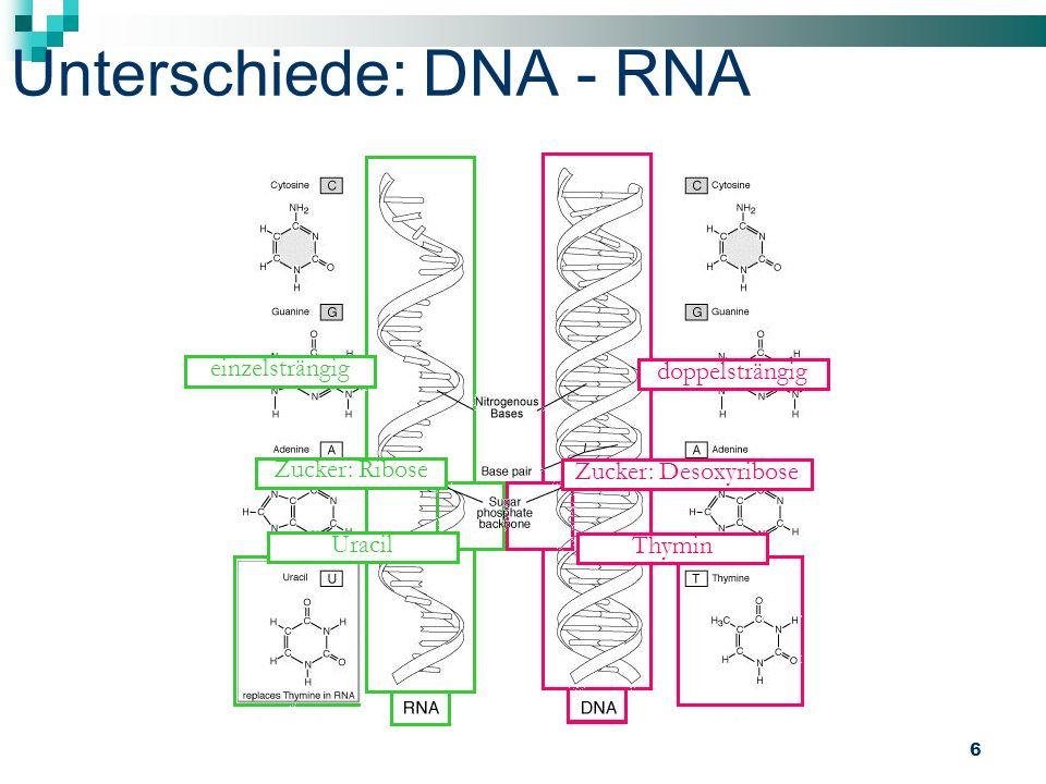 6 Unterschiede: DNA - RNA einzelsträngig doppelsträngig Zucker: Desoxyribose Zucker: Ribose Uracil Thymin