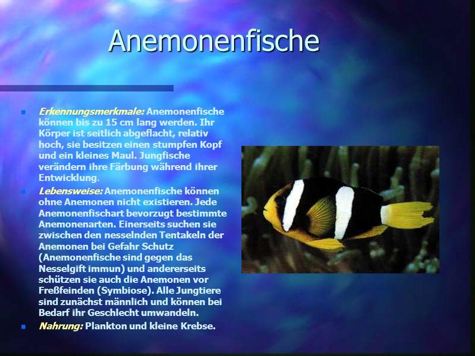 Anemonenfische n n Erkennungsmerkmale: Anemonenfische können bis zu 15 cm lang werden.