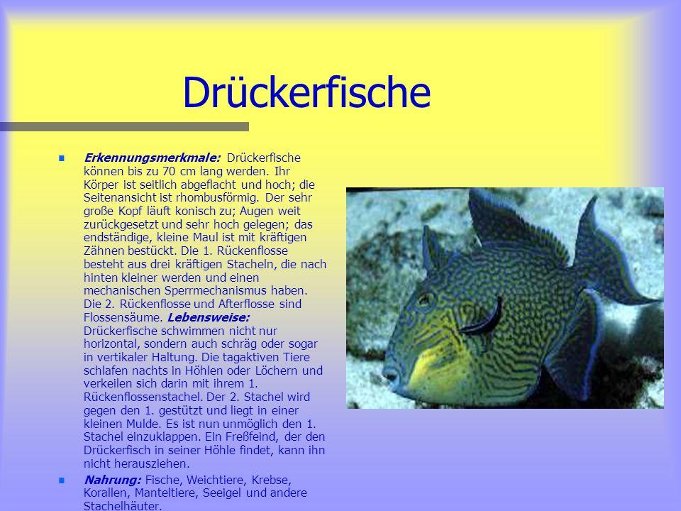 Anemonenfische n n Erkennungsmerkmale: Anemonenfische können bis zu 15 cm lang werden. Ihr Körper ist seitlich abgeflacht, relativ hoch, sie besitzen