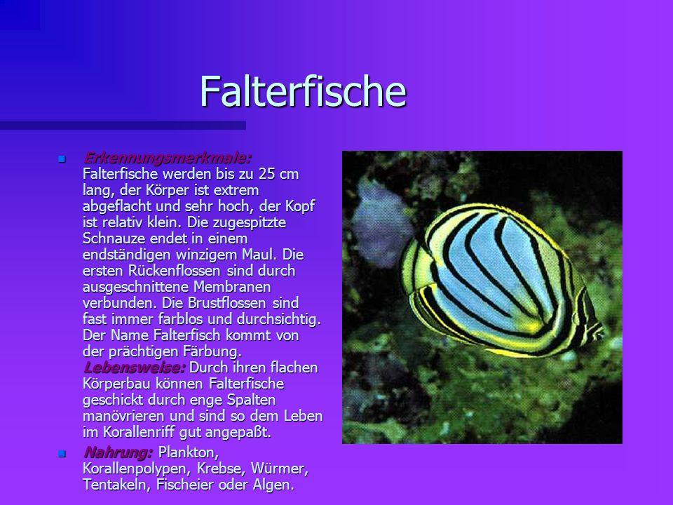 Falterfische n Erkennungsmerkmale: Falterfische werden bis zu 25 cm lang, der Körper ist extrem abgeflacht und sehr hoch, der Kopf ist relativ klein.