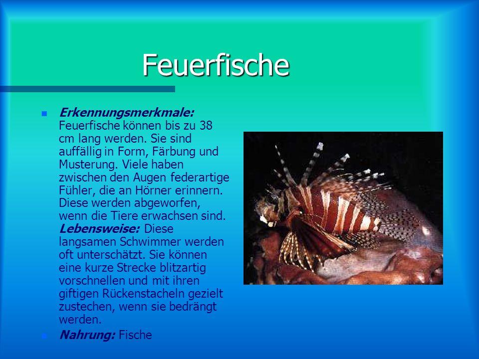 Feuerfische n n Erkennungsmerkmale: Feuerfische können bis zu 38 cm lang werden.